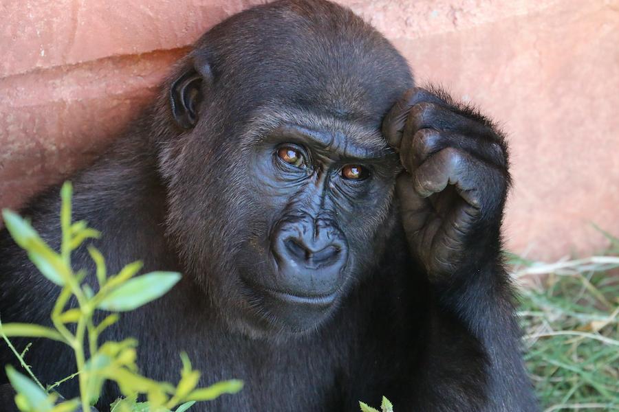 Kennen Sie die Bedeutung von Gorillas in Verhandlungen?